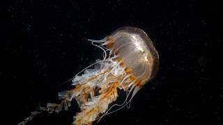 EU launches €6m project to valorise jellyfish