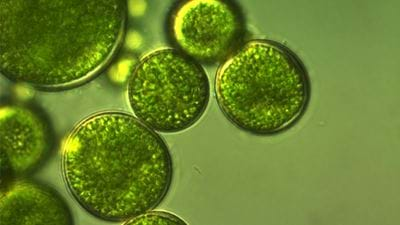 Novel process for damage-free algae biomass harvesting